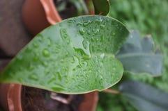在植物的下落水 免版税库存图片