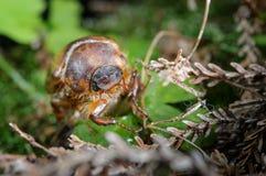 在植物的共同的金龟子 虫在他的环境里 库存照片