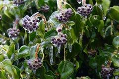 在植物的冰盖子 库存照片