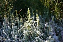 在植物的冰 免版税图库摄影