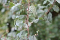 在植物的分支的叶子 免版税库存照片