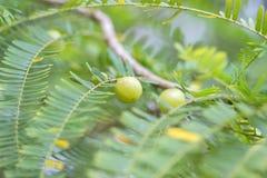 在植物的印地安鹅莓 库存照片