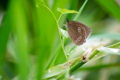 在植物的卷发蝴蝶 免版税库存照片