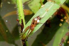 在植物的叶子的蜘蛛 库存图片