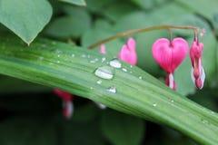 在植物的叶子的雨珠,桃红色花在背景中 库存图片