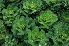 在植物的圆白菜 免版税库存照片