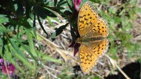 在植物的巧克力蝴蝶 库存图片