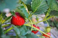 在植物的成熟草莓 库存图片