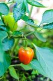 在植物的橙色甜椒 库存照片