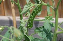 在植物的毛虫 免版税图库摄影