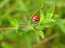 在植物的瓢虫 库存图片