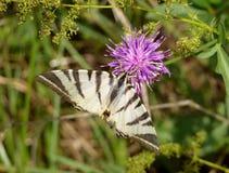 在植物的白色蝴蝶 库存图片