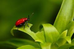 在植物的红色猩红色百合甲虫 库存照片