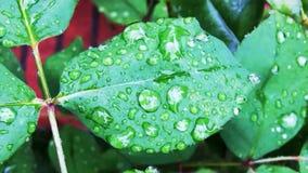 在植物的绿色叶子洒与春雨下落 股票视频