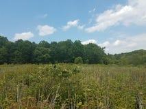 在植物的美洲红翼鸫在沼泽地 图库摄影