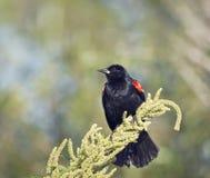 在植物的美洲红翼鸫 免版税库存照片