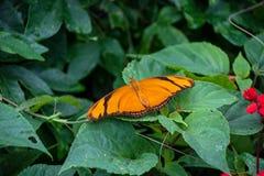 在植物的茱莉亚蝴蝶 库存图片