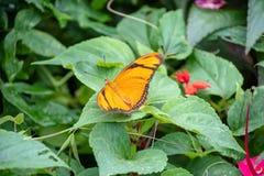 在植物的茱莉亚蝴蝶 免版税图库摄影