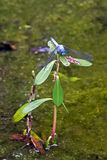 在植物的蓝色龙飞行 库存照片