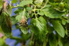在植物的蕃茄瘟疫在温室离开 免版税库存图片