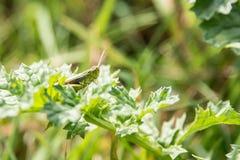 在植物的蚂蚱 免版税库存照片