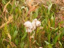 在植物的许多白色蓬松头状花序在草背景中 免版税库存图片