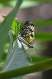 在植物的词根的宣纸蝴蝶 库存图片