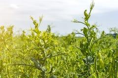 在植物的豌豆豆,领域的,反对纯净的晴朗的天空背景  免版税图库摄影