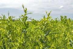 在植物的豌豆豆,领域的,反对纯净的晴朗的天空背景  免版税库存照片
