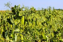 在植物的豌豆豆,领域的,反对纯净的晴朗的天空背景  图库摄影