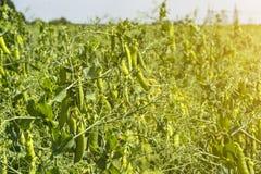 在植物的豌豆豆,领域的,反对纯净的晴朗的天空背景  库存照片