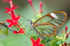 在植物的透明飞过的蝴蝶 免版税库存图片