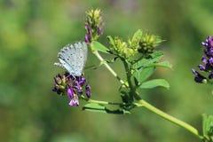 霍莉蓝色蝴蝶 免版税库存图片