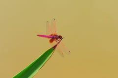 蜻蜓(绯红色Dropwing) 库存照片