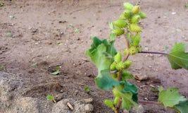 在植物的绿色种子 免版税库存照片