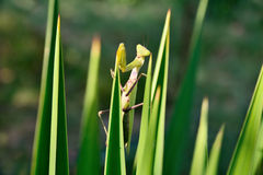 在植物的绿色螳螂 库存图片