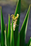 在植物的绿色螳螂 免版税图库摄影