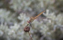 在植物的蜻蜓 库存照片