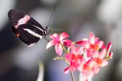 在植物的Heliconius多丽丝蝴蝶 库存照片