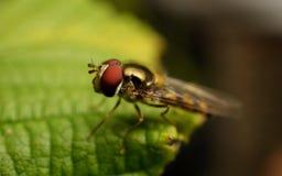 在植物的Hoverfly 库存图片