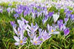 在植物群的紫罗兰色花在科隆,德国,是第一棵开花的植物在春天 库存照片