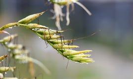 在植物花蕾的小滴 免版税图库摄影