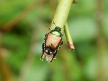 在植物词根的甲虫 免版税库存图片