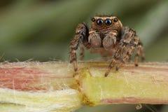 在植物词根的跳跃的蜘蛛 库存照片