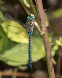 在植物词根(蜻蜓)栖息的蓝眼睛更加织补 免版税库存图片