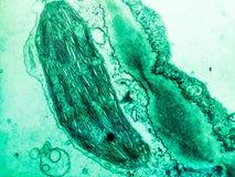 在植物细胞的叶绿体 免版税图库摄影