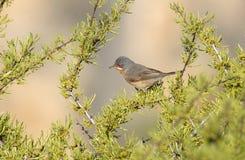 在植被中的鸣鸟 免版税库存图片