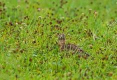 在植被的少年苍鹰 库存照片