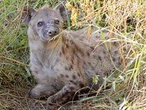在植被的被察觉的鬣狗 库存照片