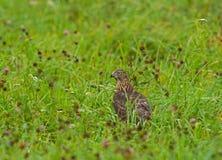 在植被的Juvenille苍鹰 库存图片